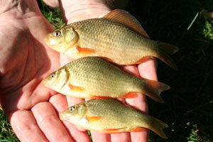 Baby Carp | www.pixshark.com - Images Galleries With A Bite!