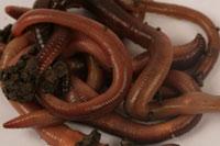 lobworms200.jpg