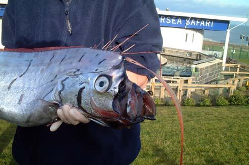 oarfish5.jpg
