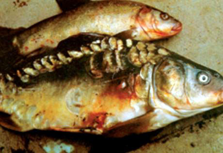 carp and tench infected with SVC 1.jpg