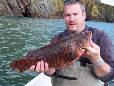 Ballan Wrasse from Loch Ryan