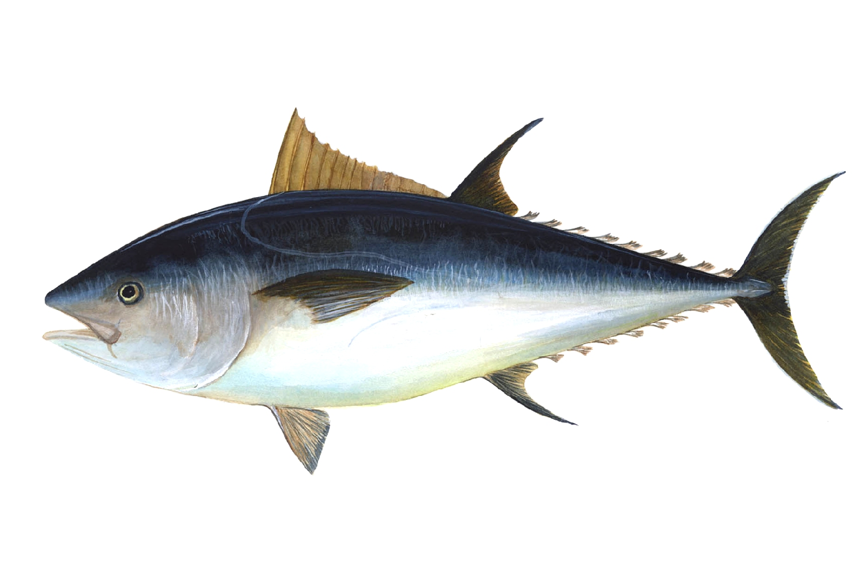 bluefin tuna.jpg
