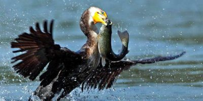 cormorant eating fish 1.jpg
