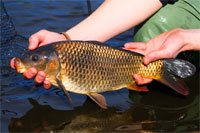 a scale perfect common carp ready for stocking