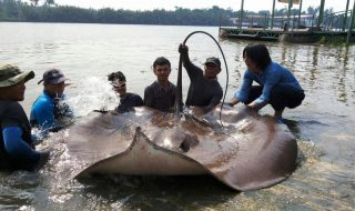 Giant Stingray.jpg
