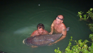 What a beast - this massive Siamese carp weighs in at around 150lb!!!