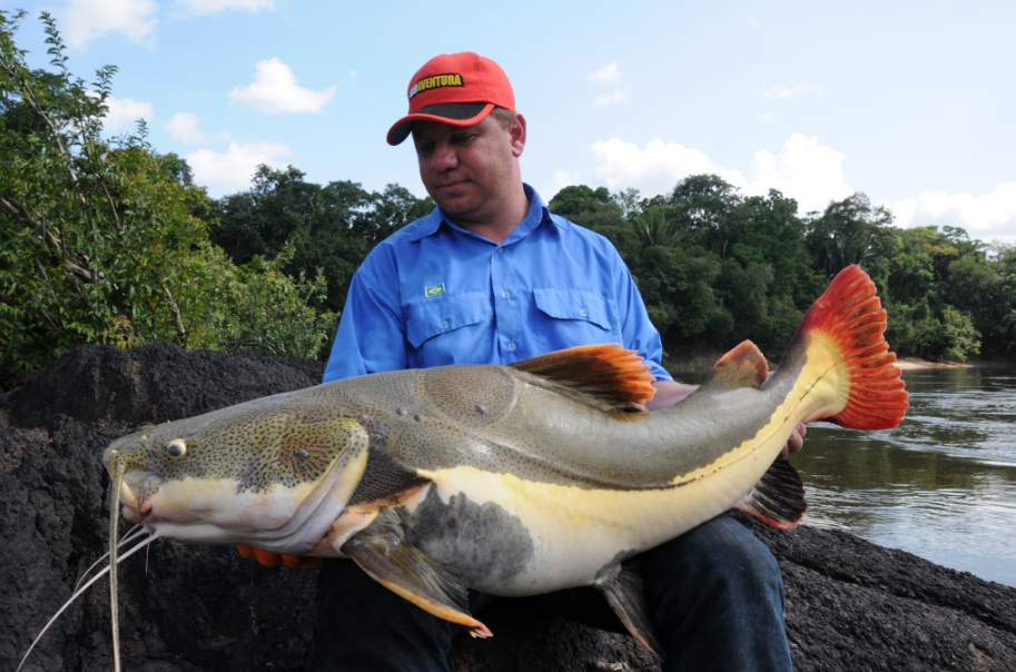 A nice redtail catfish taken from the Amazon Roosevelt Lodge with Amazon-Angler.com