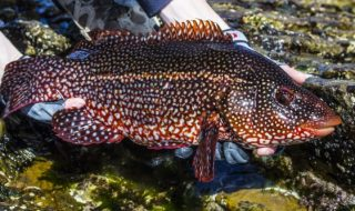 save our wrasse
