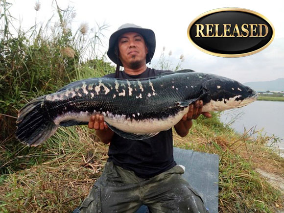 world record snakehead