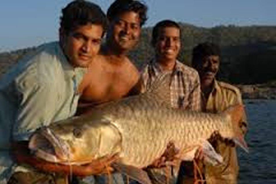 golden mahseer himalayas india