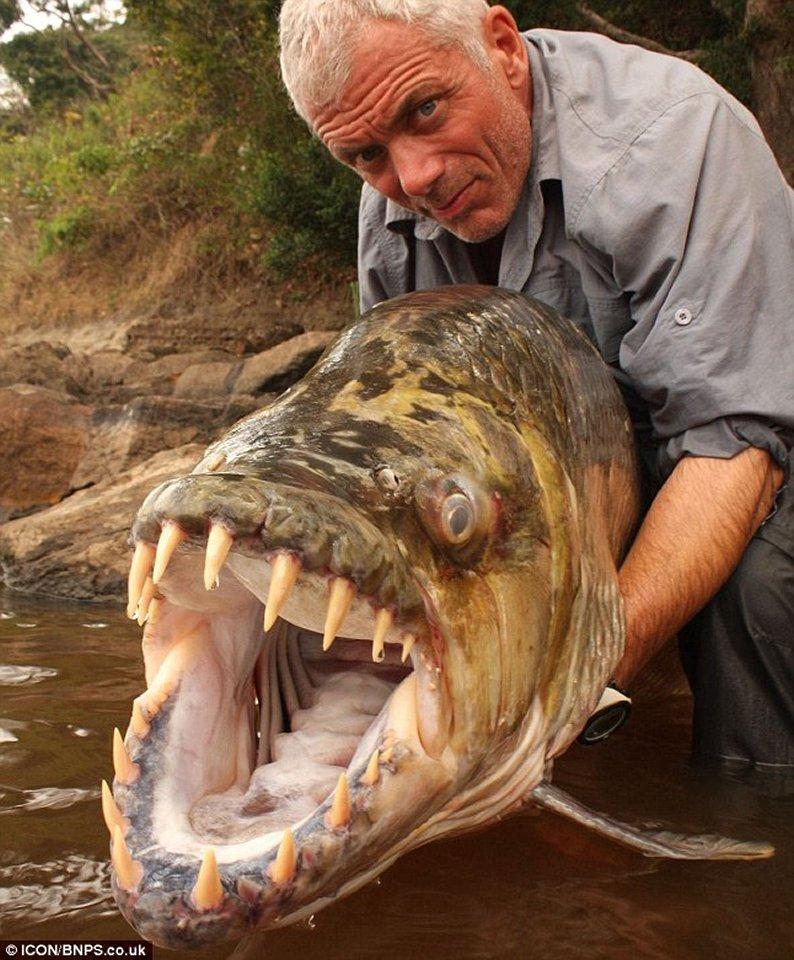 goliath tiger fish congo