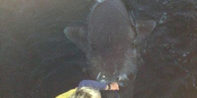 world record greenland shark