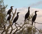 cormorants on freshwater