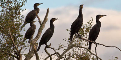 cormorants on freshwater