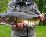 Pink salmon added to UK species list
