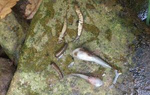 Bullhead fish and invertebrates like caddis fly larvae were among those killed