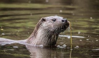 Barbel Society calling on protection for otters to be lifted