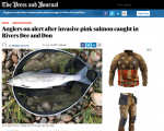 Anglers urged to be vigilent on look our for invasive pink salmon